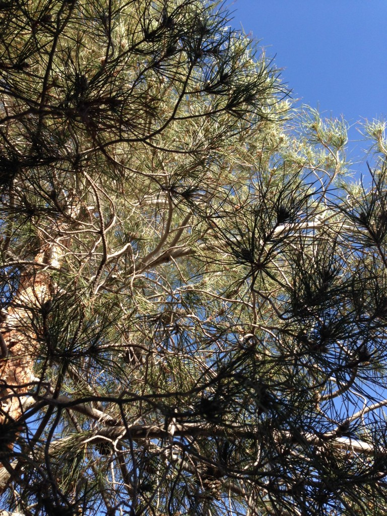 Pine needles against sky is one of my fave things (in B/W or color) - hardcoded into me as an NC native, I guess.